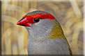 Red-browed Firetail,  Diamante Sydney, Dornastrild, (Neochmia temporalis), (Aegintha temporalis)-5073